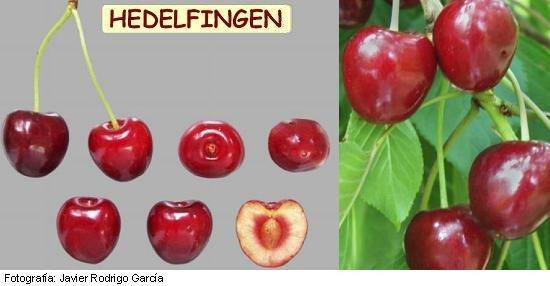 Hedelfingen cherry